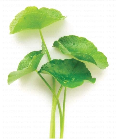 Thần dược từ cây rau má 1