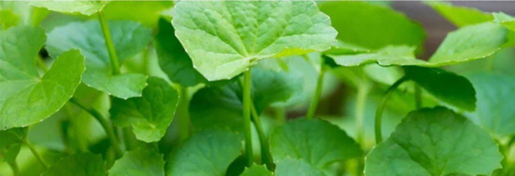 Dân gian đã kiểm chứng khả năng thần dược từ cây rau má