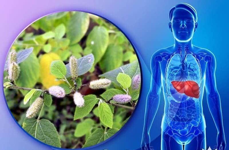 Tác dụng của cây an xoa chữa bệnh gan rất tốt