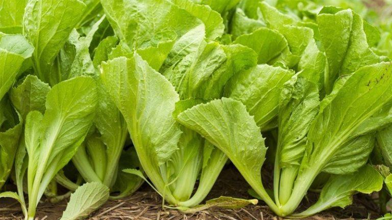 11 Tác dụng của rau cải xanh không thể bỏ qua