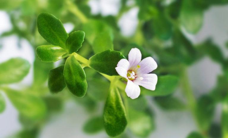 rau đắng trị bệnh gì