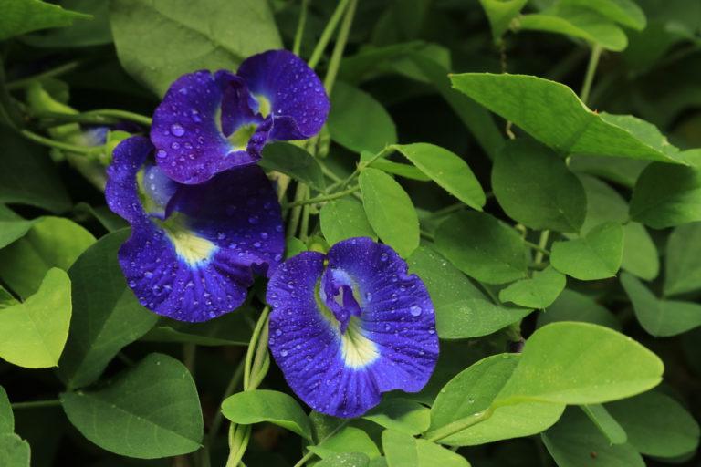 Chuyên gia chỉ ra 10 tác dụng của hoa đậu biếc
